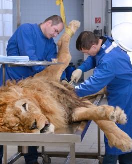 Wie plastiniere ich einen Löwen?