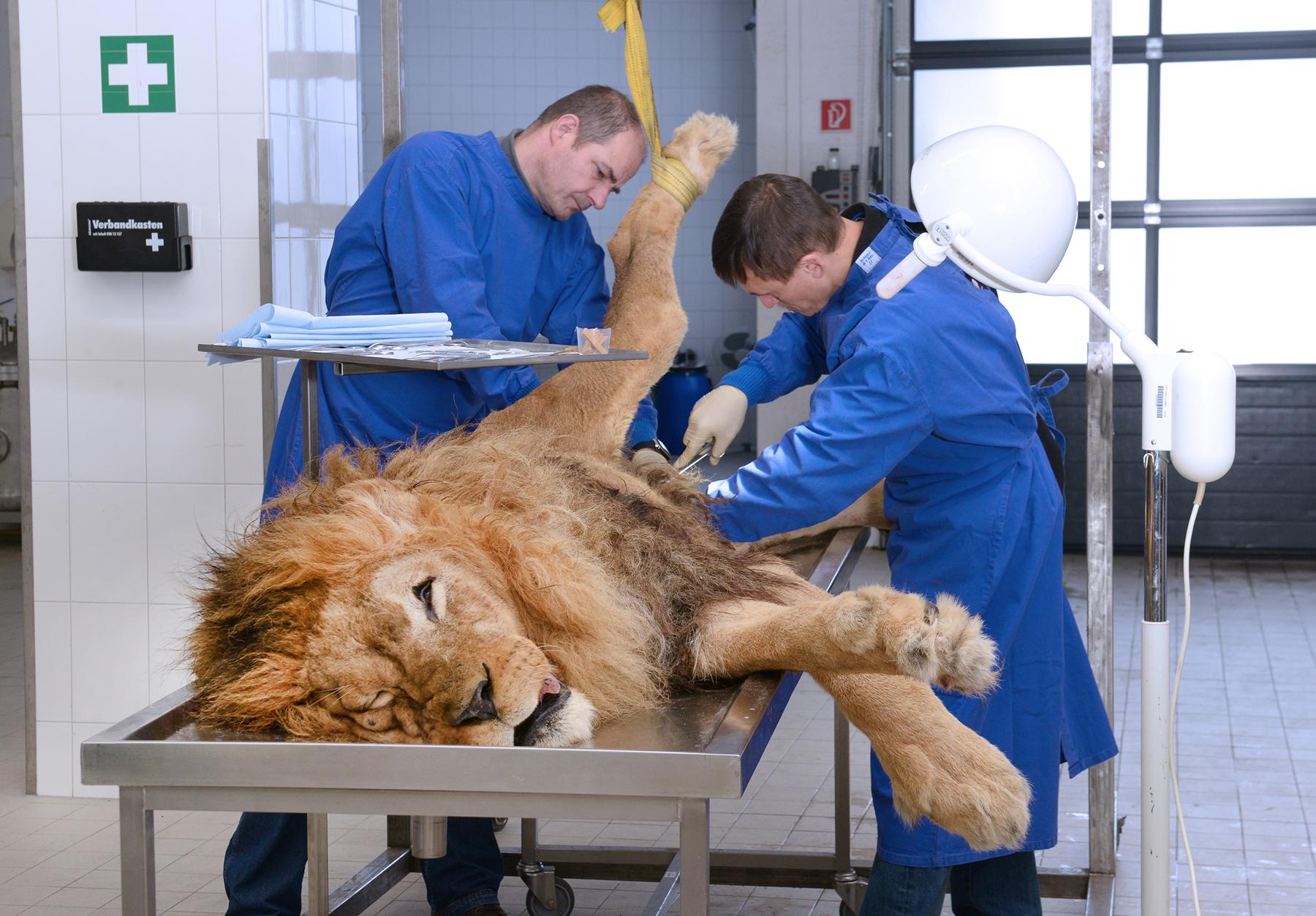 Ein toter Löwe aus dem Zoo in Kaiserslautern wird im Plastinarium in Guben ( Dr. Gunther von Hagens) plastiniert.